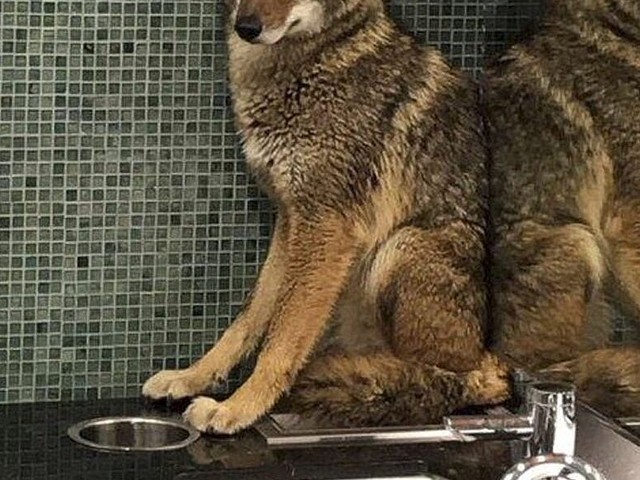 Coyote Sneaks Into Nashville Music Center Bathroom to Stare at Reflection, Cause a Scene
