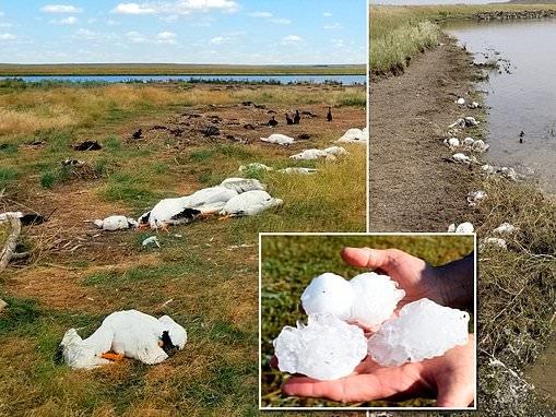 Extreme hail kills 11,000 pelicans, cormorants and ducks