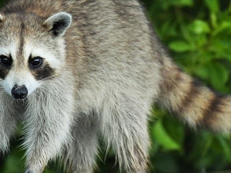 How To Get Rid of Raccoons: Best Methods for Raccoon Control