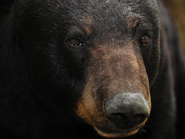 Black Bear Kills Teen Runner Midway Through Alaska Trail Race