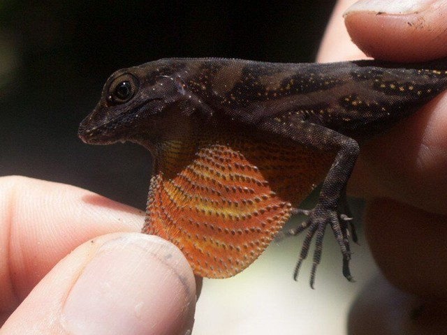 The Male Lizards That Attract Mates And Predators