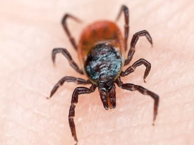 Incesticide-treated clothes effective against disease-carrying ticks