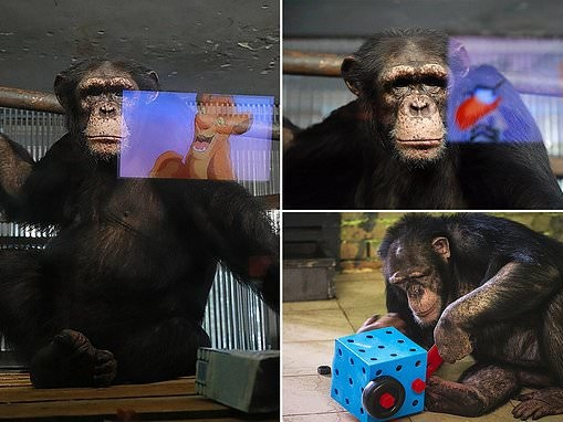 Chimps are shown cartoons amid lack of visitors in Russia