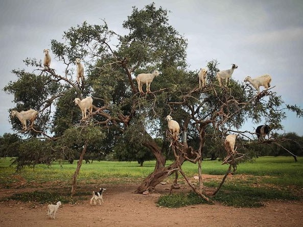 GOATS IN TREES AND OTHER PHENOMENA.