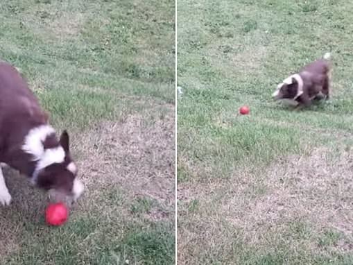 Adorable moment an inventive dog ditches his owner for a new way of playing fetch