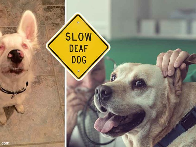 These Dogs Are Deaf (One Is Also Blind) … but You'd Never Know It