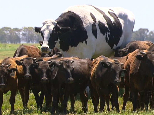 Story Behind Viral 'Giant' Cow Is Actually Really Sad