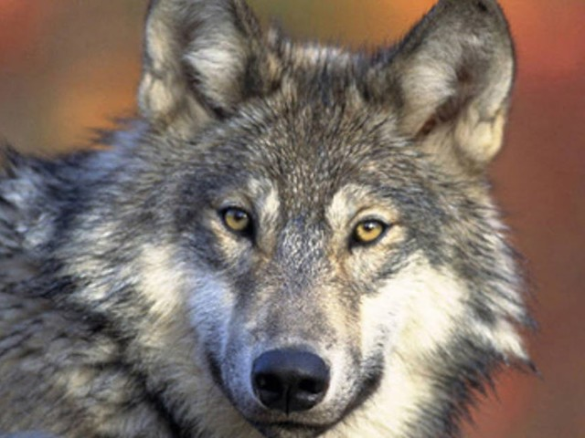A return to wolf hunting in Minnesota?