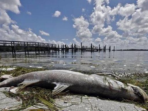 Toxic algal bloom plagues Florida's Gulf Coast