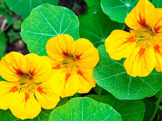 The Edible Flower Anyone Can Grow — Even in Bad Conditions