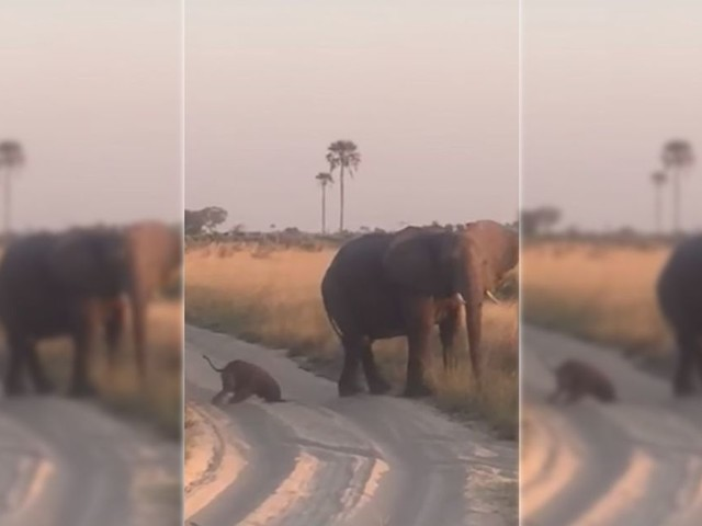 Baby elephant adorably nosedives while crossing the street