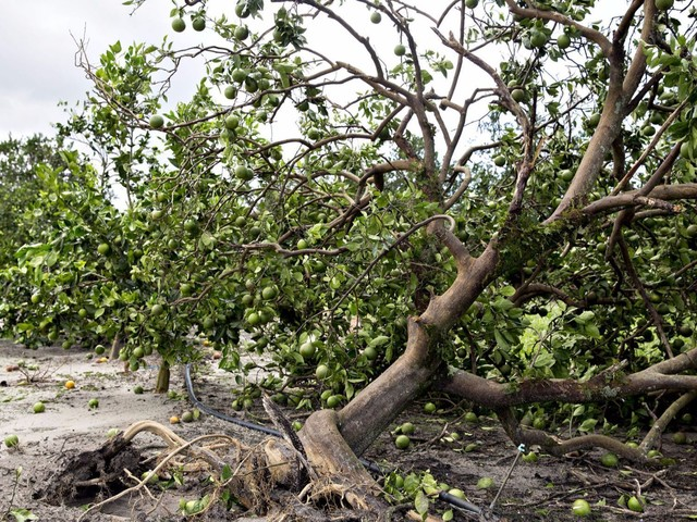 Florida orange crops face forecast drop, fears of going even lower