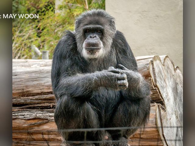 Beloved San Francisco Zoo Chimp 'Cobby,' Oldest Male In U.S. Captivity, Dies At 63