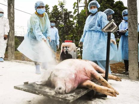 African Swine Fever Devastates China's Pig Herd In September