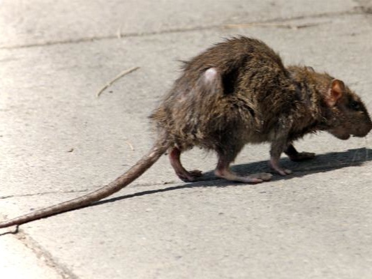 """""""California Is Being Overrun By Rodents"""" – And We're Not Talking About The Politicians"""