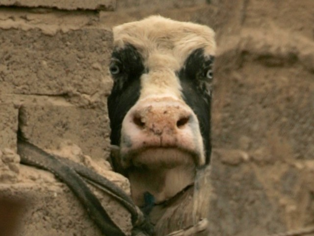 Islamic State fighters reportedly using cows strapped with bombs for their suicide missions