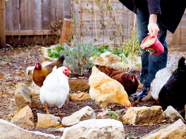 Train Your Chicken Sitter to Ensure Your Flock's Health & Safety