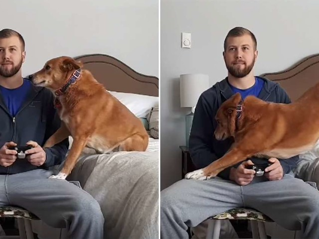 Dog Will Do Anything To Distract Her Dad From Playing Video Games
