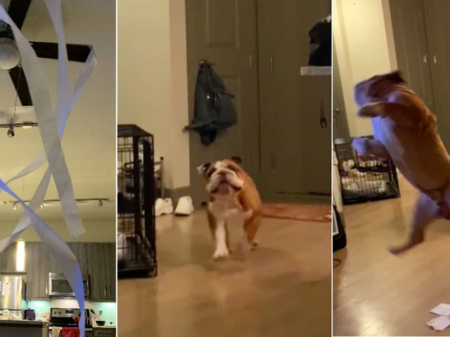 Dog Experiences Pure Joy When Owner Puts Toilet Paper On Ceiling Fan