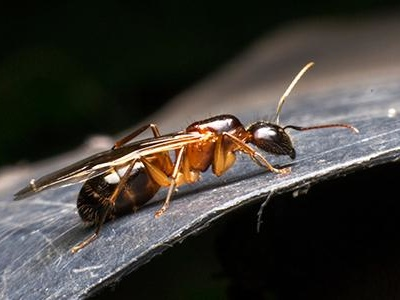 Washington D.C.'s Complete Guide To Odorous House Ant Control
