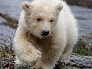 Berlin zoo shows off new polar bear cub