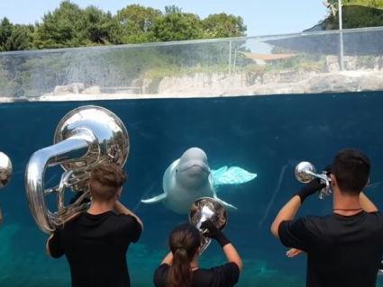 Beluga Whale Appreciates Music