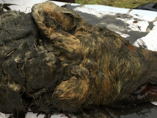 A 40,000-year-old severed wolf's head was discovered in Siberia