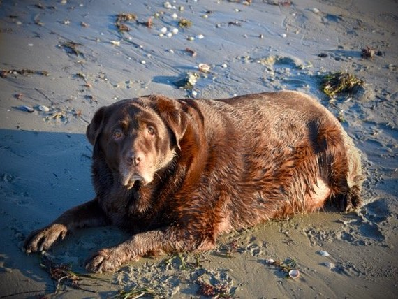 Family Adopts Obese Dog And Helps Him Lose 60 Pounds