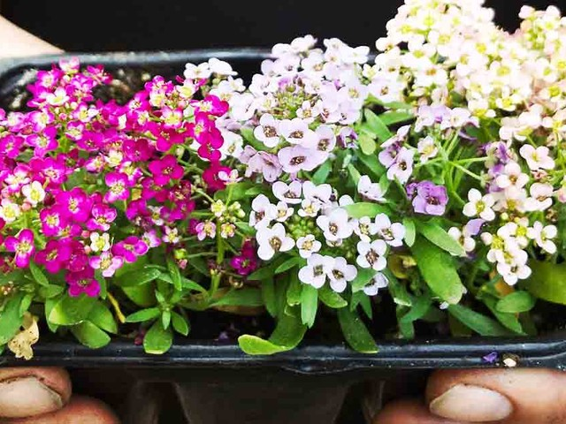 How to Grow Sweet Alyssum