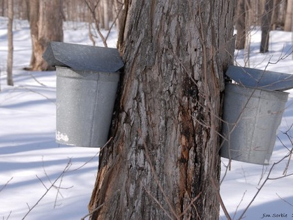The future of maple syrup is uncertain