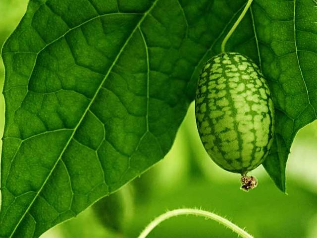 Meet a trendy, designer vegetable — the cucamelon