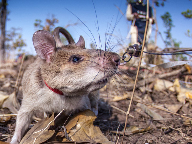 Rat And His Friends Have A Very Special Job Saving People's Lives