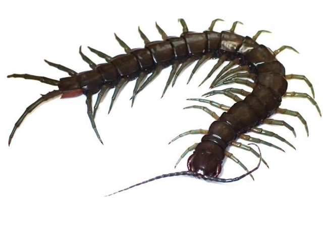 New amphibious centipede species discovered in Okinawa and Taiwan