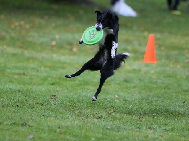 Ruff competition: Canine frisbee club opens winter toss-and-fetch competition