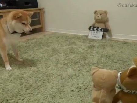 Shiba Inu Becomes Confused When Her Toy Barks Back At Her