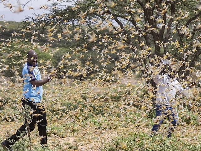 Locust swarms threaten East Africa's food security