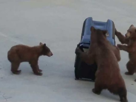 A Determined Trio Of Bears Try To Break Into A Bear-Proof Garbage Can