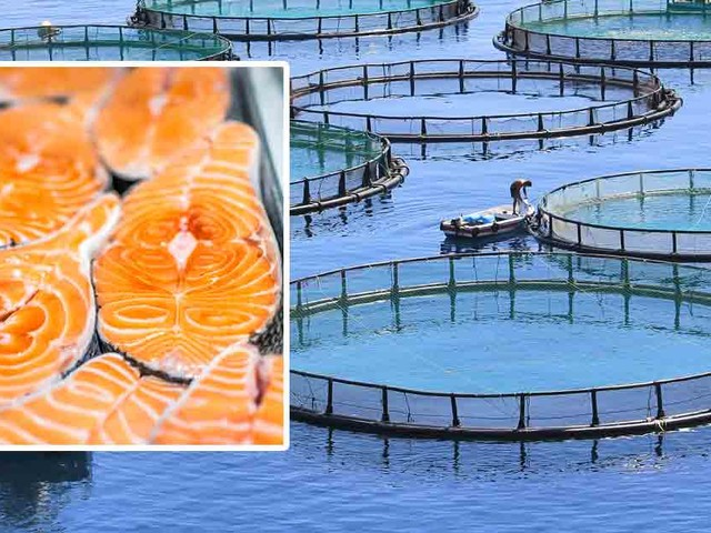 Factory Farmed Salmon Full of Disease and Hazardous Chemicals