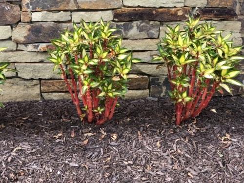 Red Stem/ Variegated leaves