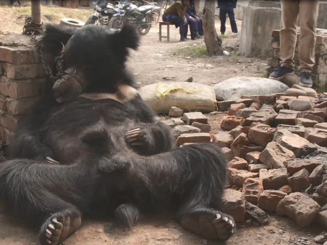 Bear Was Saved From 20 Years Of 'Dancing' — Then Secretly Sent To The Worst Zoo