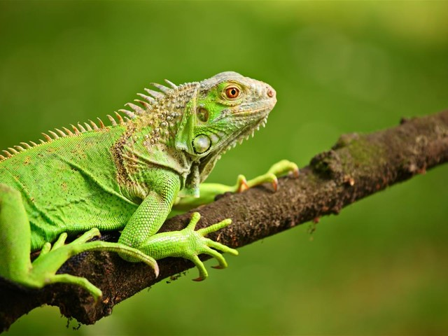 If You're in This State, Look Out for Falling Iguanas