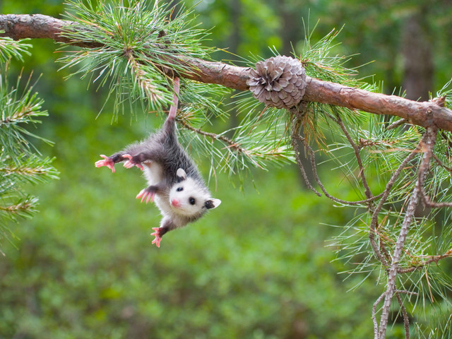 Group hopes to prevent 'opossum dropping' on New Year's Eve