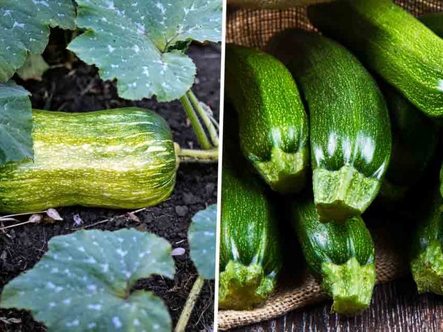 Great Tips for Growing Squash