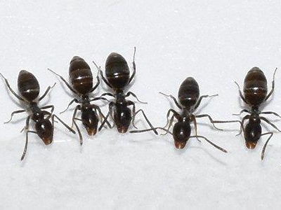 Why Are There Ants In My Washington D.C. Home?