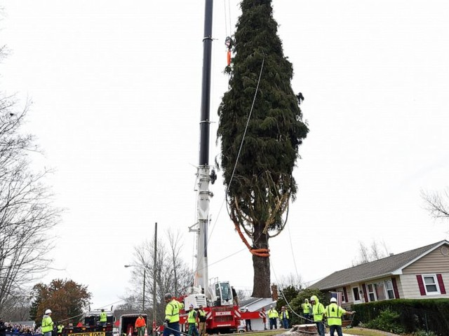 The Rockefeller Center Christmas Tree has been harvested