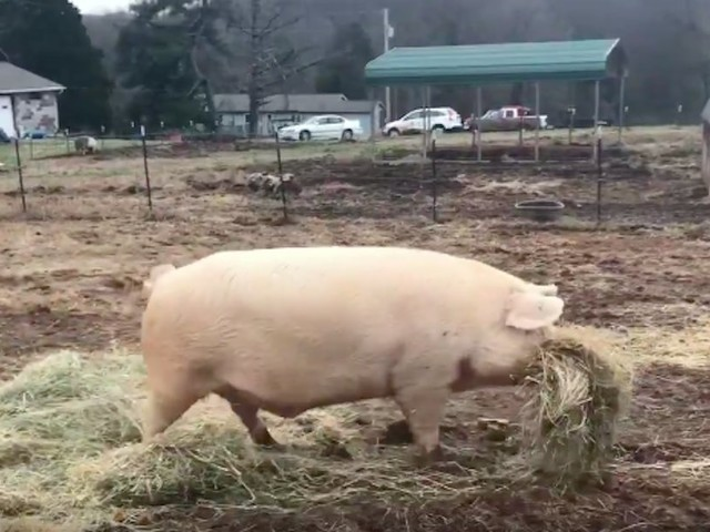 Pig Brings Lunch To His Sick Brother Every Single Day