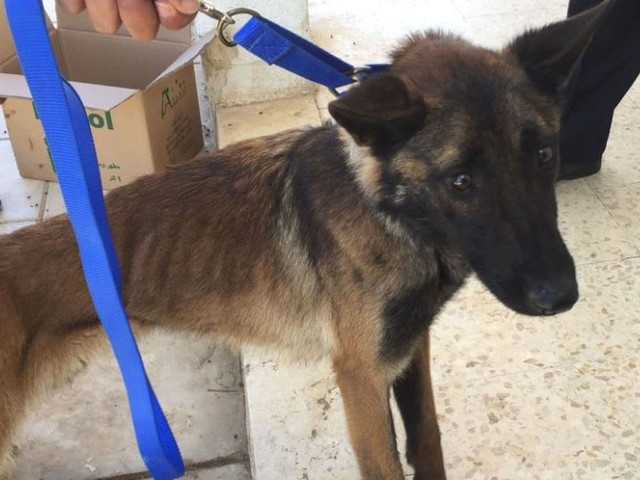 U.S. officials knew bomb-sniffing dogs were dying from neglect in Jordan. They sent more.
