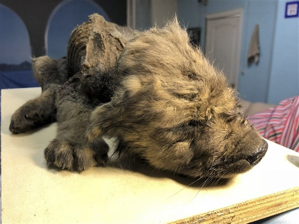 18,000-year-old puppy found frozen put on display by Russia museum