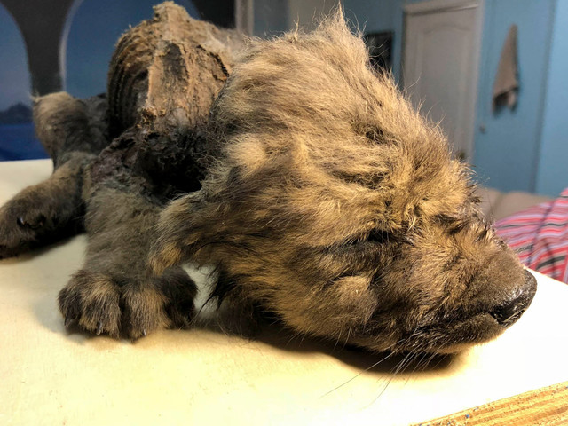 Prehistoric puppy found in permafrost still has teeth, fur and whiskers