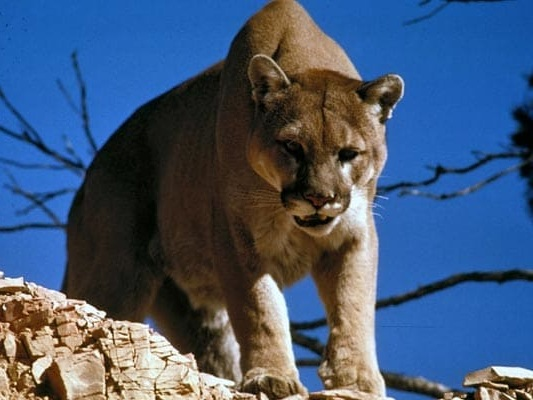 A Mountain Lion Mauled A Trail Runner. The Man Fought Back And Killed It